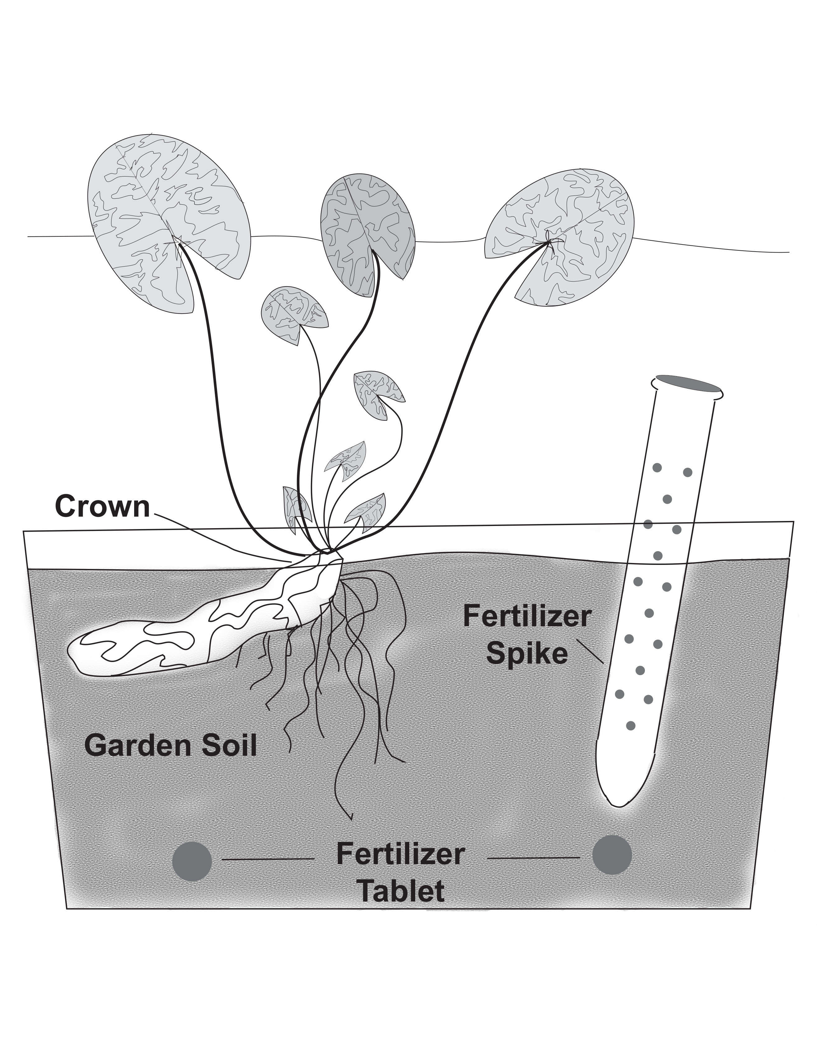 Planting Instructions for Hardy Water Lilies